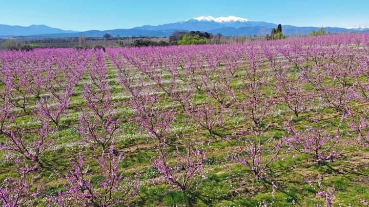 Ferskentræer i blomst bjerg i baggrunden